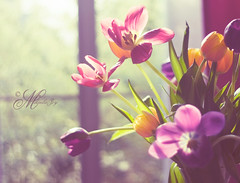 """So shines a good deed in a weary world"" (mjmatt) Tags: tulips bokeh windowlight naturesfinest niftyfifty"
