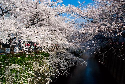 Sakura in Naka Meguro 10