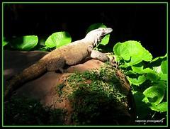 Comprehending... (rashmiejaaju) Tags: green reptile environment wilderness animalkingdom liveandletlive fluorescentgreen disneyworldorlandoflorida everycreatureisbeautifulinitsownwaydontdespiseduetohowitlooksordoesntlook savenatureitsprecious practisevegeterianism
