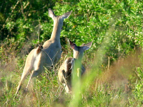 Deer Flee 20090416