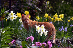 tiger in my garden (patryka) Tags: cat garden picis