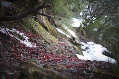 Fallen rhododendron flowers on the trail through Helambu