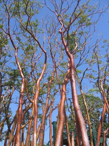 Trees, Pinar del Rio