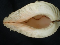 Erotic shell (robertschodterer) Tags: philippines shell abigfave platinumphoto anawesomeshot