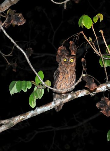 tropical screech owl1
