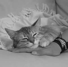 Dulce Gwen (petitewebfleur) Tags: blackandwhite bw cat chat hand noiretblanc main tendresse douceur