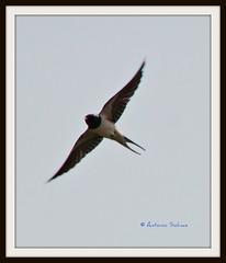 rondine in volo (Antonio clic) Tags: sardegna fauna canon reflex sardinia ali uccelli volo ala birdwatching avifauna stagno piume puzzones