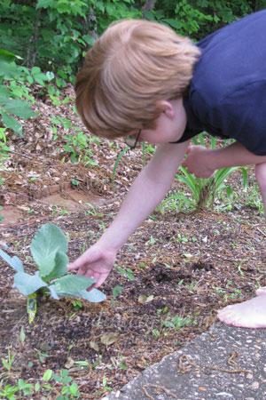 Sam's-Cabbage-Plant_051109_0001cropweb