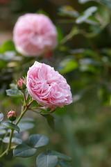 庭のバラ'マリア・テレジア'