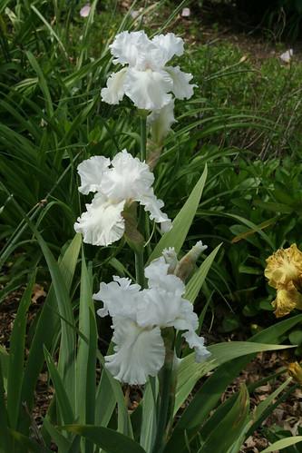 Iris 'Alabaster Unicorn'