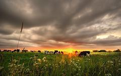 Grazing the last sun (Danil) Tags: sunset holland netherlands zonsondergang nikon view daniel nederland sigma groningen 1020mm hdr landschap koeien denham stront d300 bagger ergaatnietsbovengroningen koeindewei middaghumsterland plattelandopznmooist