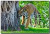 Sneakin' Up on You (Fraggle Red) Tags: animal fauna female cat zoo raw florida miami bigma tiger handheld bengaltiger metrozoo pantheratigris miamimetrozoo sigma50500mmf463exapo miamidadeco pantheratigrisbengalensis vosplusbellesphotos adobelightroom22