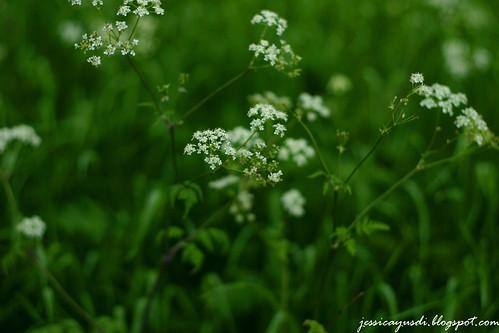 rapeseed10