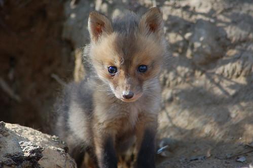 Fox Kit 053