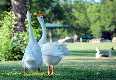 In Unison (Tea Wells) Tags: geese mnmz2