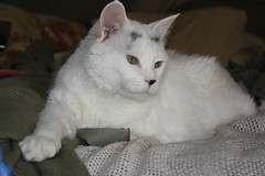 Snowball (Wandabrowneyes (OUT more than IN right now)) Tags: white greeneyes snowball turkishvan polite snowbie catnipaddicts