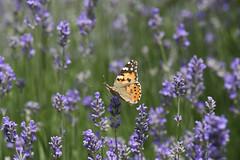 Vanessa del cardo (beppe65): farfalle e lavanda (Lugano - Switzerland) (nepalbaba) Tags: lavender butterflies soe lavanda farfalle concordians nepalbaba