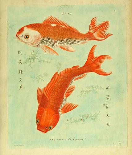 001- El preocupado-La capuchina-Histoire naturelle des dorades de la Chine-Martinet 1780