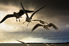 IMG_0586 (Spieler Family) Tags: vögel möwen boltenhagen mwen vgel