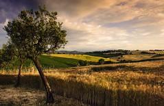 L'ulivo (Massimo Feliziani) Tags: sunset field rural landscape gold nikon grain hills campagna hour marche paesaggio grano macerata regione rurale d700 marchigiana