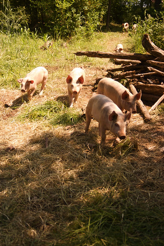 SeaBreeze pigs II