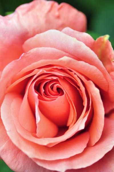 rose 2922 R