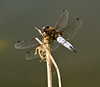 Scarce Chaser (chubbster) Tags: pictures black river geotagged interesting dragonfly awesome great meadows explore richard houghton ouse cambridgeshire tailed totally skimmer chaser scarce huckle explored ©allrightsreserved chubbster ricpic