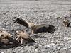 Himalayan Griffon Vultures.