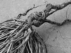 Knotted and gnarled II (Paperbarque1) Tags: bw southaustralia twisted gnarled knotted conservationpark muttoncove lefevrepeninsula