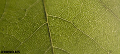 Leaf (Jeroen Claes) Tags: plant macro green canon eos 50mm leaf jeroen groen blad reverse f18 claes 450d jeroenclaes