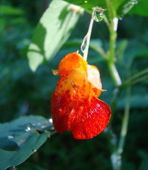 jewelweed in the sun