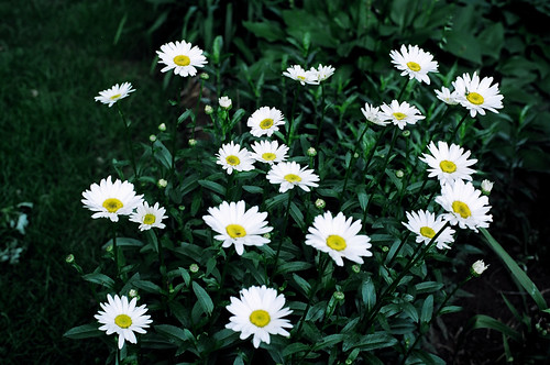 Lots of Daisies
