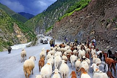Everybody going to Naran. (Suh@il) Tags: road pakistan mountain river rocks sheep herd kaghanvalley shepherds naran suhail riverkunhar suhailakhtar northernareaofpakistan roadtonaran
