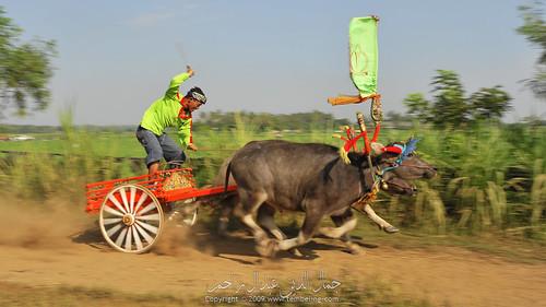 Buffalo race at Dusun Banyubiru, Negara, Bali