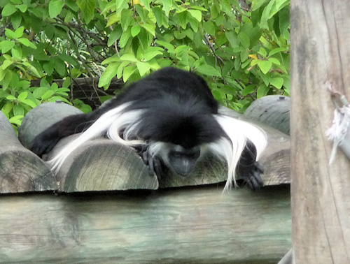 primate7