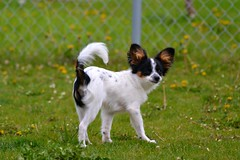 What is it??? (Pappup2010) Tags: dog pet white black color cute animal butterfly puppy toy small tan canine papillon tricolor pup breed tri pap toybreed butterflydog