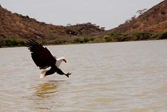 Fish Eagle making a kill