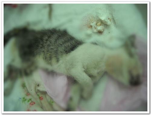 2009-02-21-「資訊警報」貓咪論壇出現一隻疑似四處認養殺貓的人形妖孽,還是某校博士班的敗類!請當心注意!