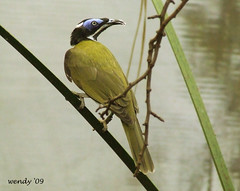 Blue Faced Honeyeater (wendyforbes) Tags: blue bird nature zoo scotland edinburgh flickr fuji finepix bluefacedhoneyeater honeyeater digitalcameraclub flickrlovers
