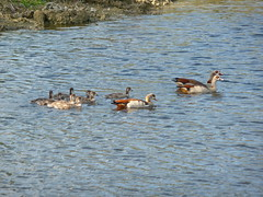 Egyptian Geese. (mauricholas/ Maureen Leong-Kee) Tags: goslings southflorida egyptiangoose babygeese bocaratonfl egyptiangeesechicks