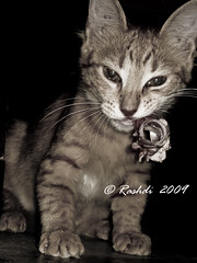 Cant you see I am eating, now shooooooo (Rashdi) Tags: cat kitten rashdi