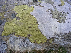 Map lichen (shadowshador) Tags: white yellow rock rocks map wildlife fungi british lichen scientific ascomycota taxonomy classification eukaryota lecanorales lecanoromycetidae lecanoromycetes pezizomycotina opisthokonta