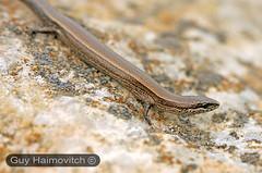 Rüppell's Snake-eyed Skink (Ablepharus rueppellii) חומט גמד