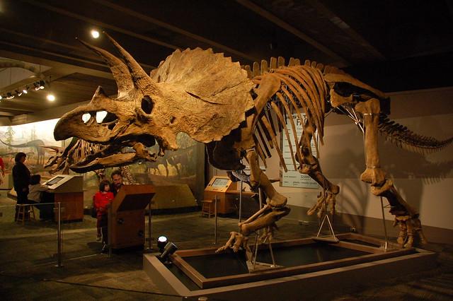 Fósil esqueleto de Triceratops