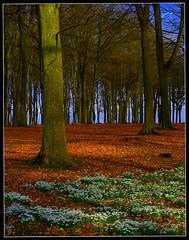 Snowdrop Wood (Bob Cox Photography) Tags: leaves snowdrops feelsgood badburyclumps theperfectphotographer