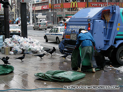 Crows, waiting for food via the rubbish trucks