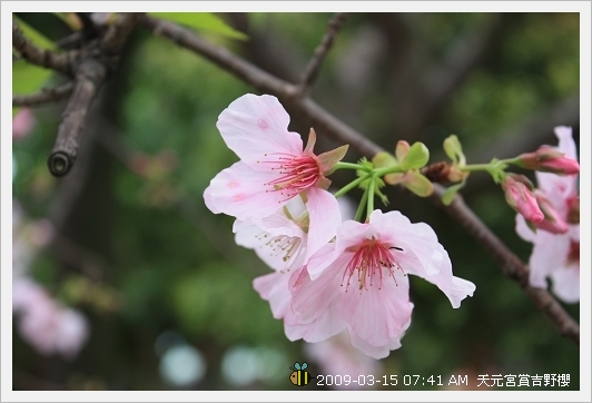 09.03.15 天元宮賞吉野櫻 (13)