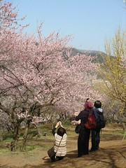 DSC07890.JPG (chinitanglatina) Tags: flowers nature japan spring ome ume yoshino plumblossoms umematsuri