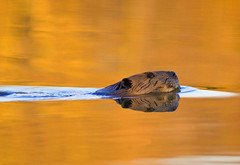 Mr. Beaver (MattGerlachPhotography) Tags: orange reflection water swimming swim nose gold pond solitude alone forsale wildlife fineart picture ears beaver buy wildanimal sell purchase silky tamron200500 bucktooth nikond200 salamoniereservoir wabashcountyindiana mattgerlachphotography tailsmack americanw09