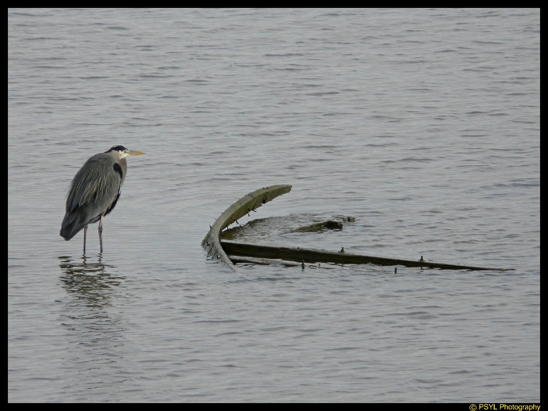 Heron and Shipwreck